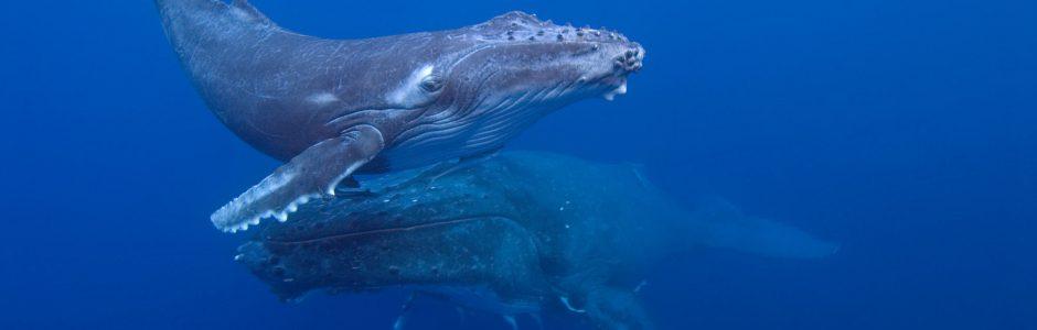 Humpback whale mother and calf, Ha'apai Islands, Tonga (c) GRID Arendal/ Glenn Edney 2015